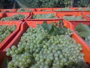 Sfriso white grapes
