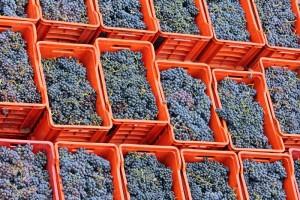 Sfriso grapes
