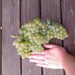 Verduzzo grape