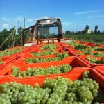 2013 Sfriso Harvest – part one
