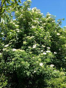 Sfriso Elderflowers